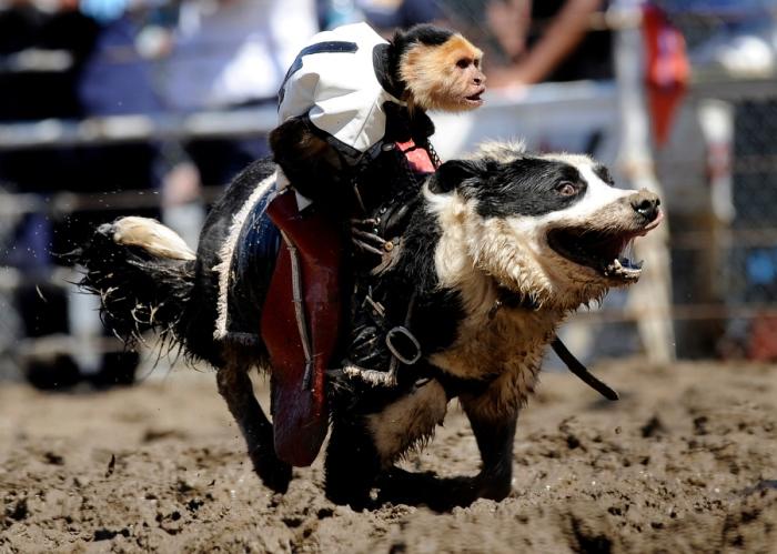 monkey on dog action